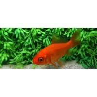 poisson rouge 7-10 cm